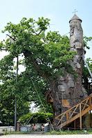 Chêne d'Allouville