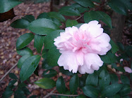 Camellia sasanqua &#39;Jean May&#39;