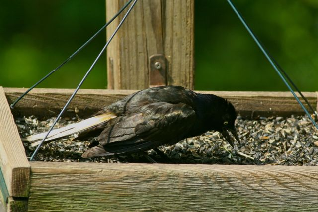 common grackle flight. common grackle juvenile.