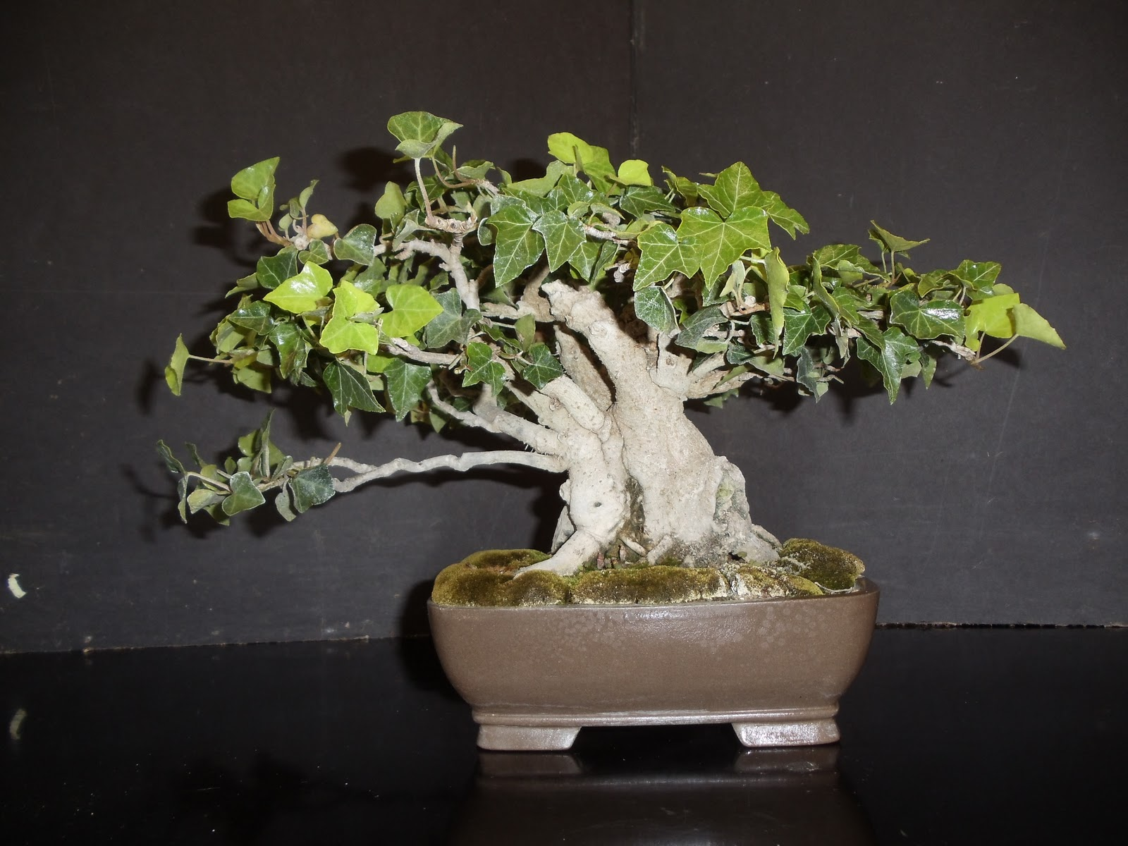 Stevesbonsai Bonsai For Upcoming Display