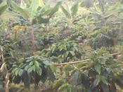 cultivo asociado