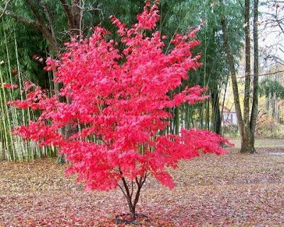 japanese maple bloodgood growth rate ronieronggo