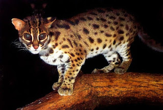 asian-leopard-cat