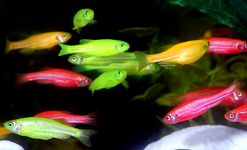 Freshwater aquarium fish for beginners