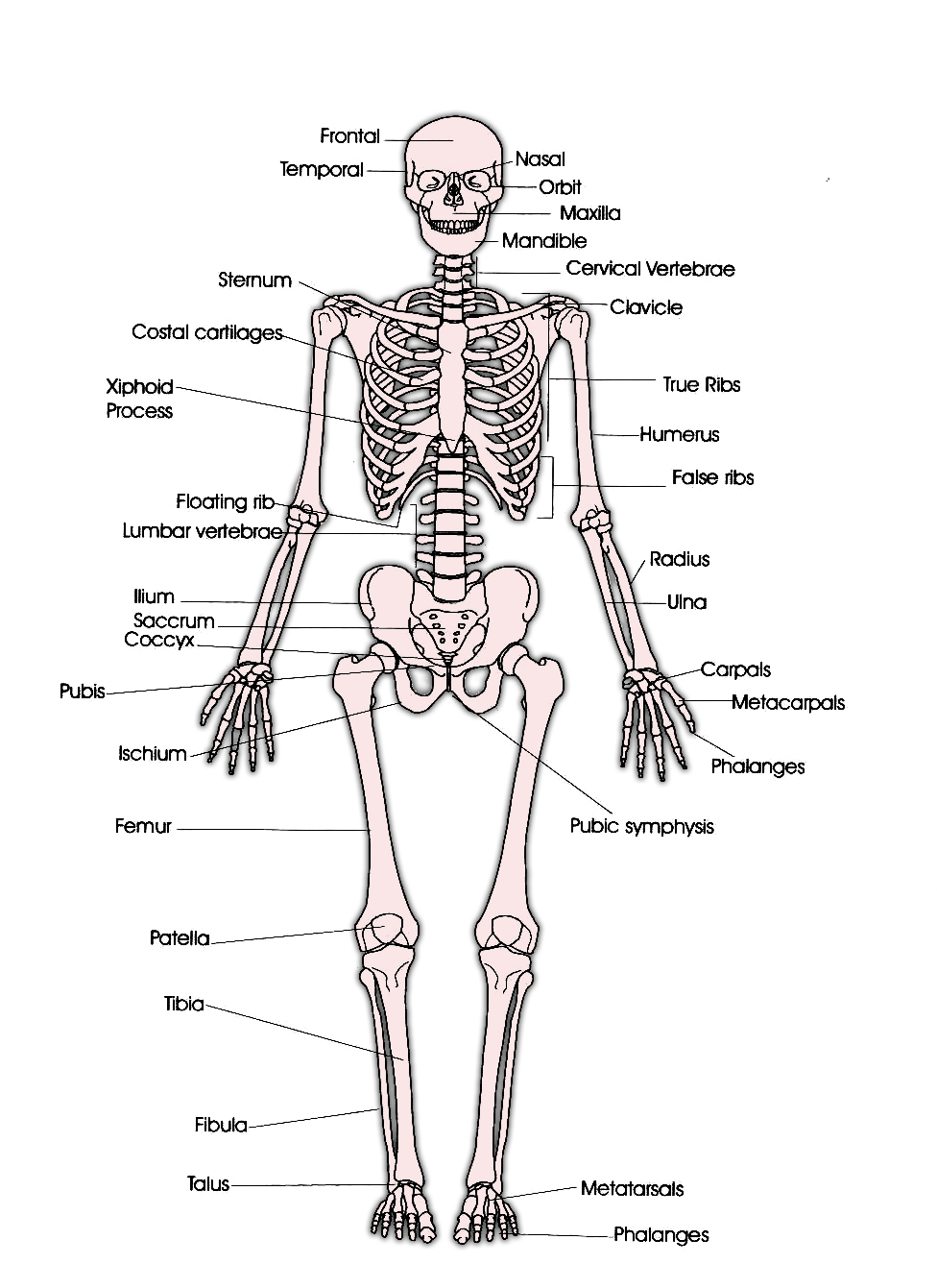 ... System Human Skeleton on blank fill in the skeletal system worksheets