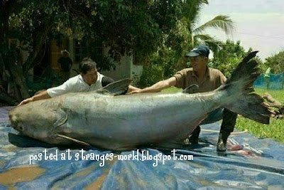 MEKONG GIANT FISH @ strange pictures