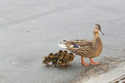 Andemor med ællinger krydser vejen og ...