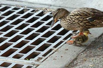 Kun én ælling kom over. Andemor kikker på kloakristen, HOVSA! - omsorgssvigt
