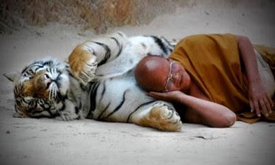 Sovende tiger og munk