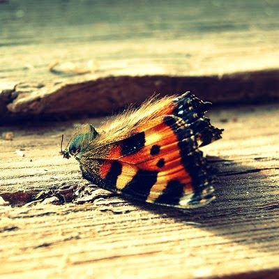 Død sommerfugl