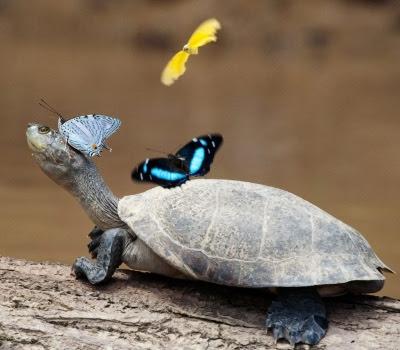 Skildpadde og sommerfugle
