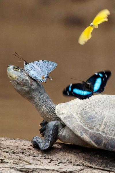 Skildpadde og sommerfugle mødes