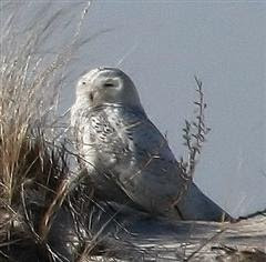 Snowy Owl, Assateague Island beach in Jan. 2009
