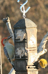 Backyard birds...Redbellied Woodpecker and a Pine Warbler