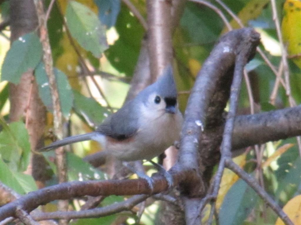 viewing nature with eileen backyard bird tufted titmouse