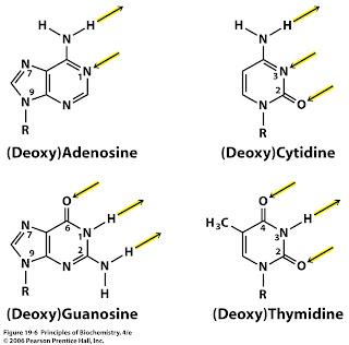 Sandwalk: Tautomers of Adenine, Cytosine, Guanine, and Thymine