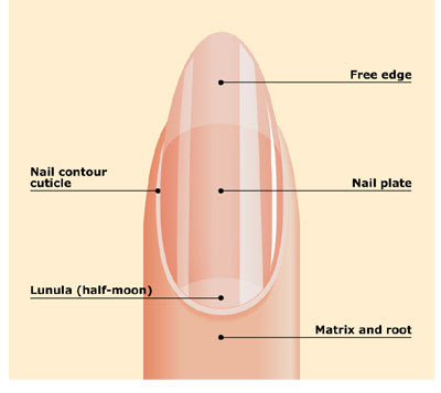 Make It Colorful Anatomy Of The Nail