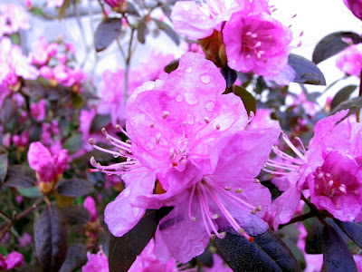 Azaleas with Rain Drops
