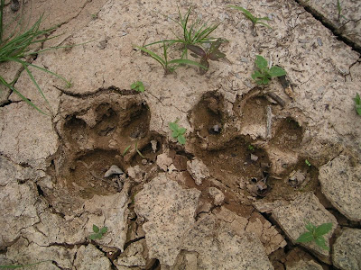 Jaguar Footprint, Belize