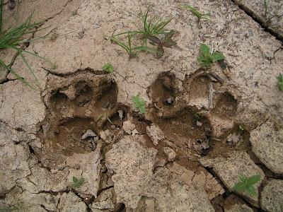 Jaguar Footprint, Belize