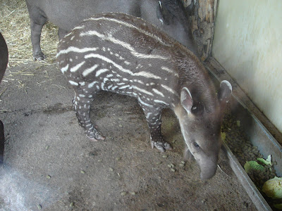 Baby Lowland Tapir at Chester Zoo, UK, by Mary Beaird to celebrate World Tapir Day, 2008