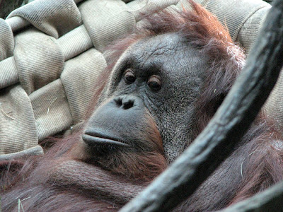Orangutan at Woodland Park Zoo, Seattle, Washington