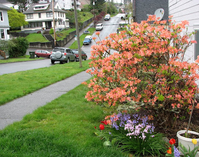Azaleas in the rain at 11th and Harrison, Astoria, Oregon