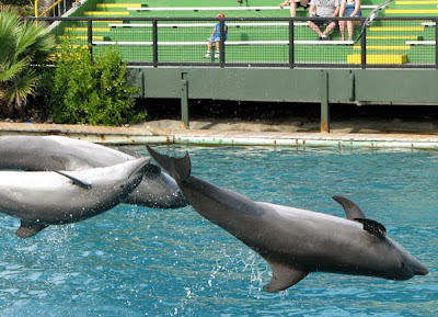 Dolphins leaping at Miami Seaquarium dolphin show
