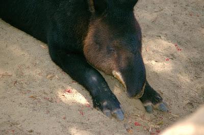 Mountain tapir at the Los Angeles Zoo, by Annemarie Hasnain