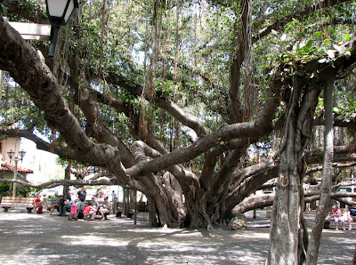 Big Banyan Tree, Lahaina, Maui, Hawaii
