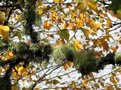 Moss on a Tree with Fall-colored Leaves