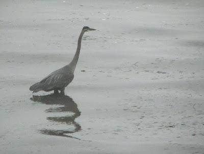Great Blue Heron, Astoria, Oregon