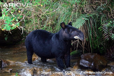 Mountain Tapir by Diego J. Lizcano