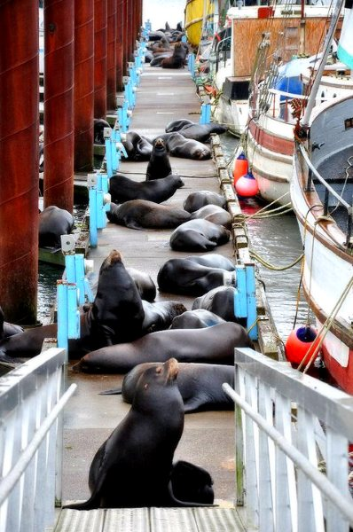 Sealions on the Dock, Astoria