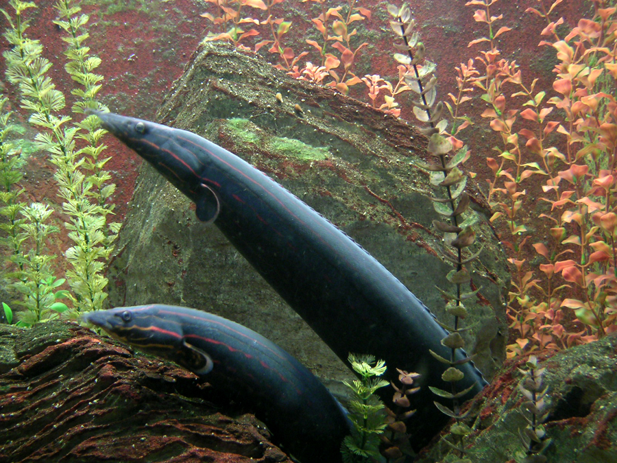 Aquarium eels for Eel fish tank