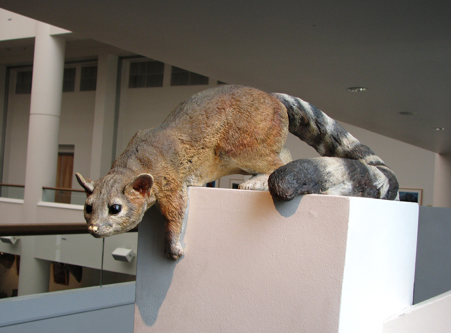 Cacomistle display sculpture at San Diego Natural History Museum