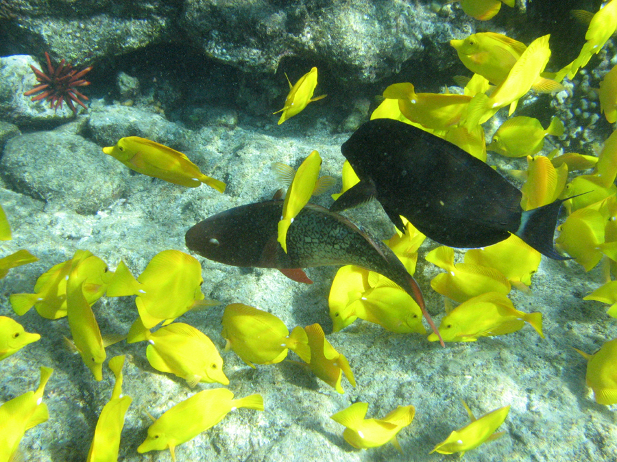 Yellow Tang, Parrotfish, at Captain Cook's Monument, Hawaii