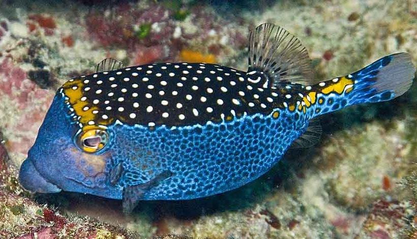 Lynspirations: FishVille - Blue Boxfish