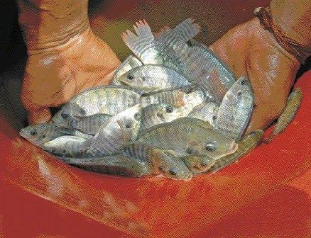 Micro peque a y medianas empresas la cr a de peces se for Criadero de pescado