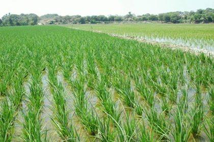Econom a agr cola las lluvias retrasan el comienzo de la for Que son cultivos asociados