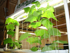 Aquaponic Cucumber Plants