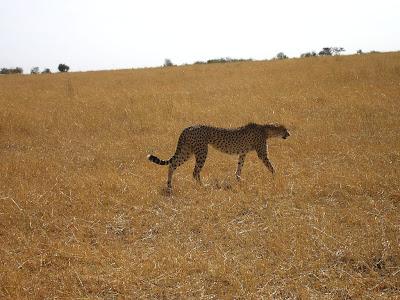 Imagini safari Masai Mara Kenya: ghepard la vanatoare
