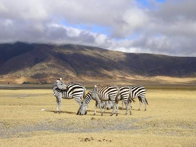 Zebre in Ngorongoro