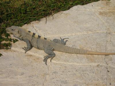 Iguana pe Isla Mujeres