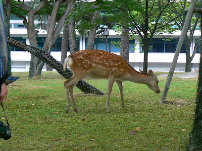 Imagini Japonia: Nara, caprioare