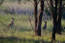 Two roos is proof of no ruse at all!