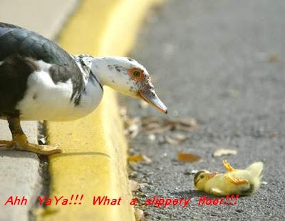Funny animal photo:Falling duckling 爆笑动物图片:小鸭跌倒记