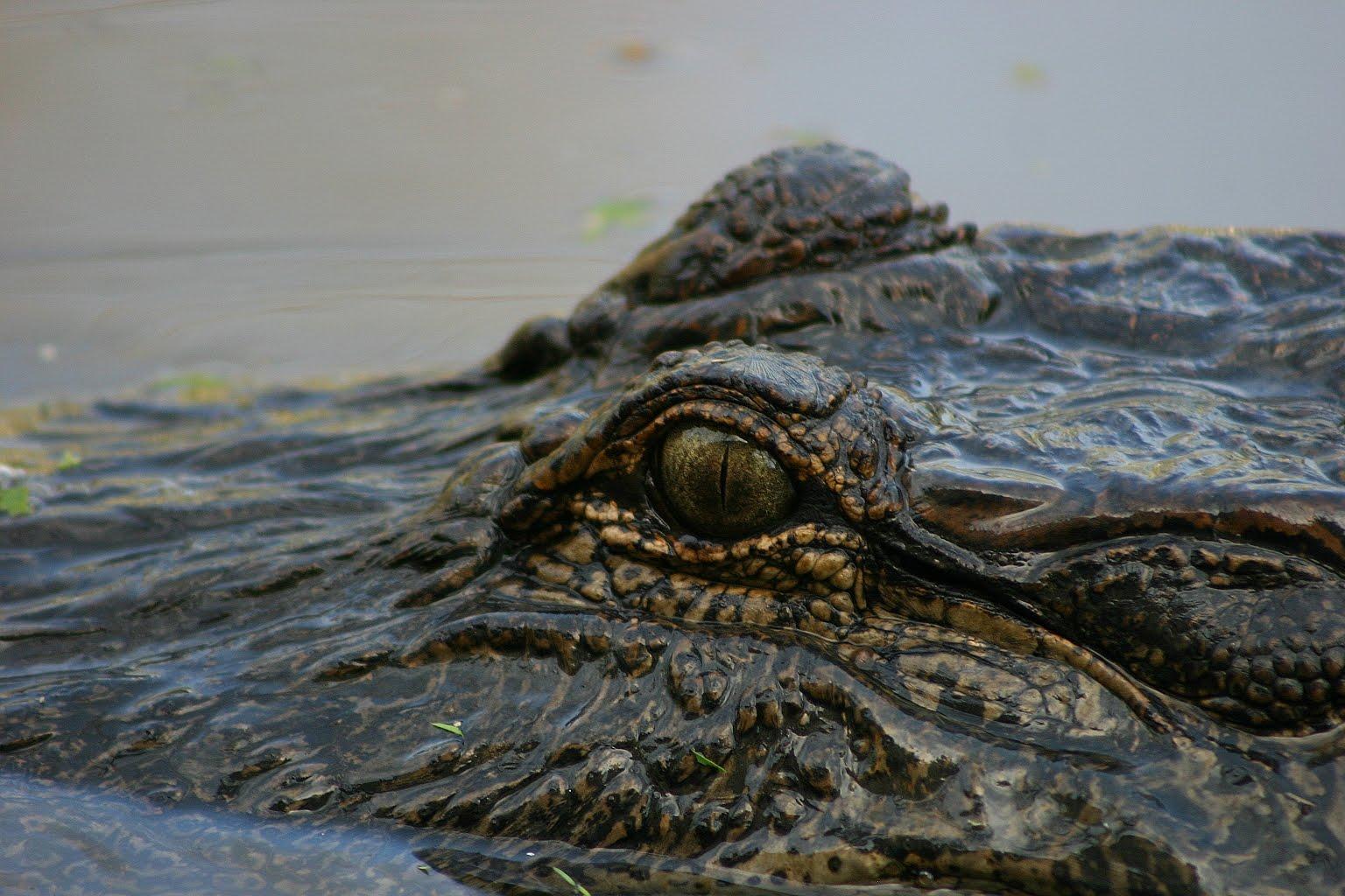 http://1.bp.blogspot.com/_Di8Yr6VhwU0/S8o7u-F1GcI/AAAAAAAAEHQ/g7vyqixXYqo/s1600/Alligator%2Beyes2j.JPG