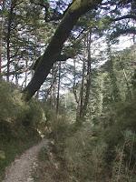 向陽山屋旁的松樹林