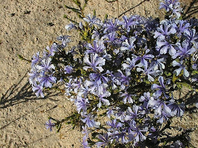 Lechenaultia papillata flowers